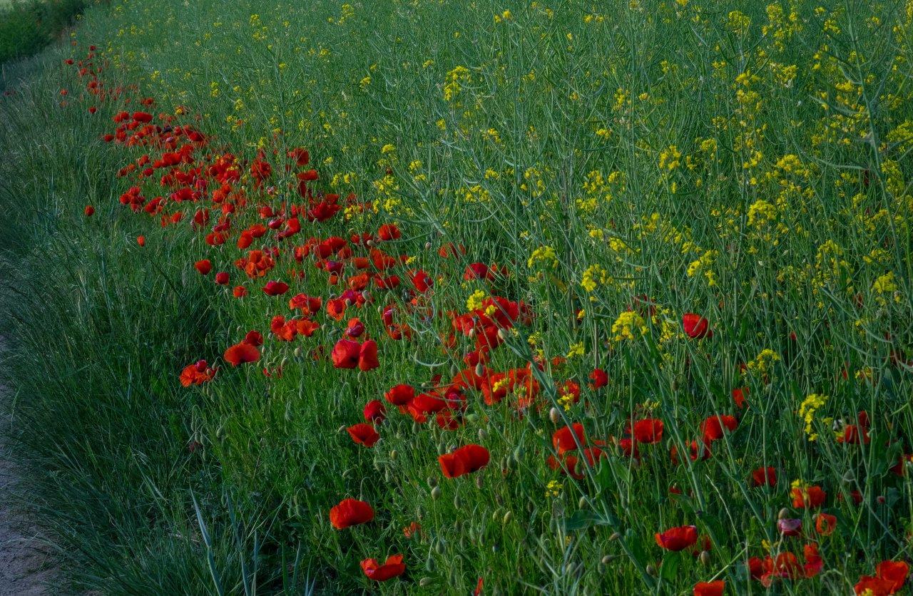 · Flores silvestres decampo