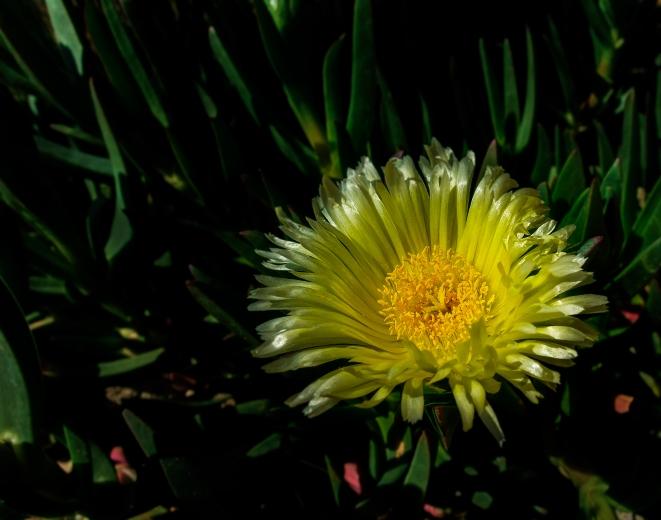 Flor de Diente de Leon (1 de 1)-2