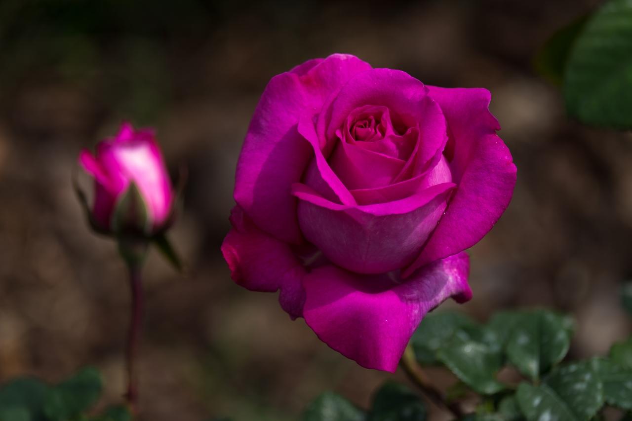 Pink Roses:   Happiness, Elegance, Romance, Admiration, Sweetness, ThankYou