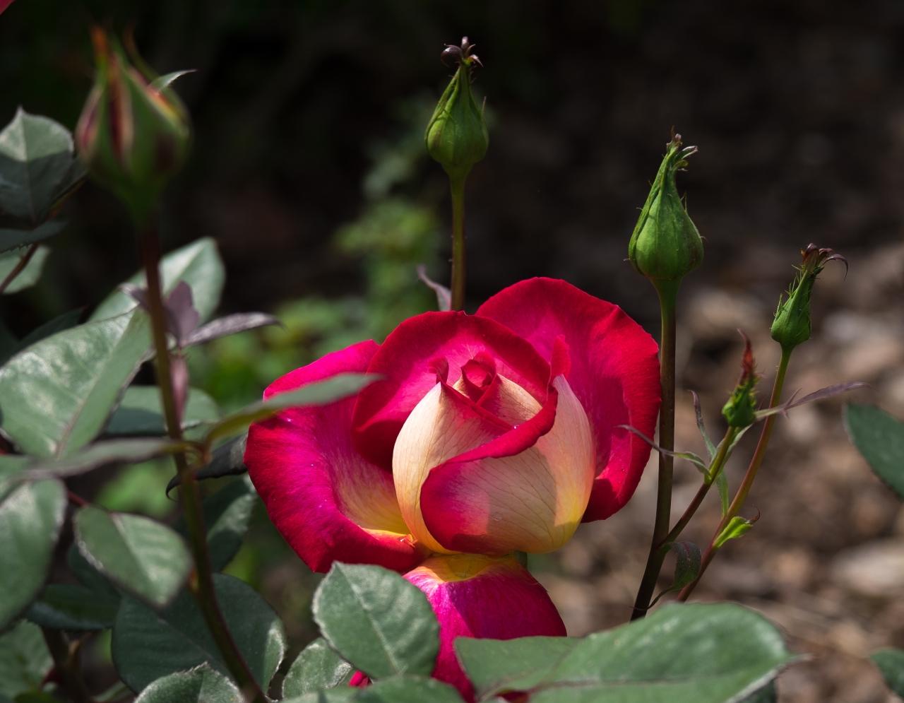 Una rosa paratí