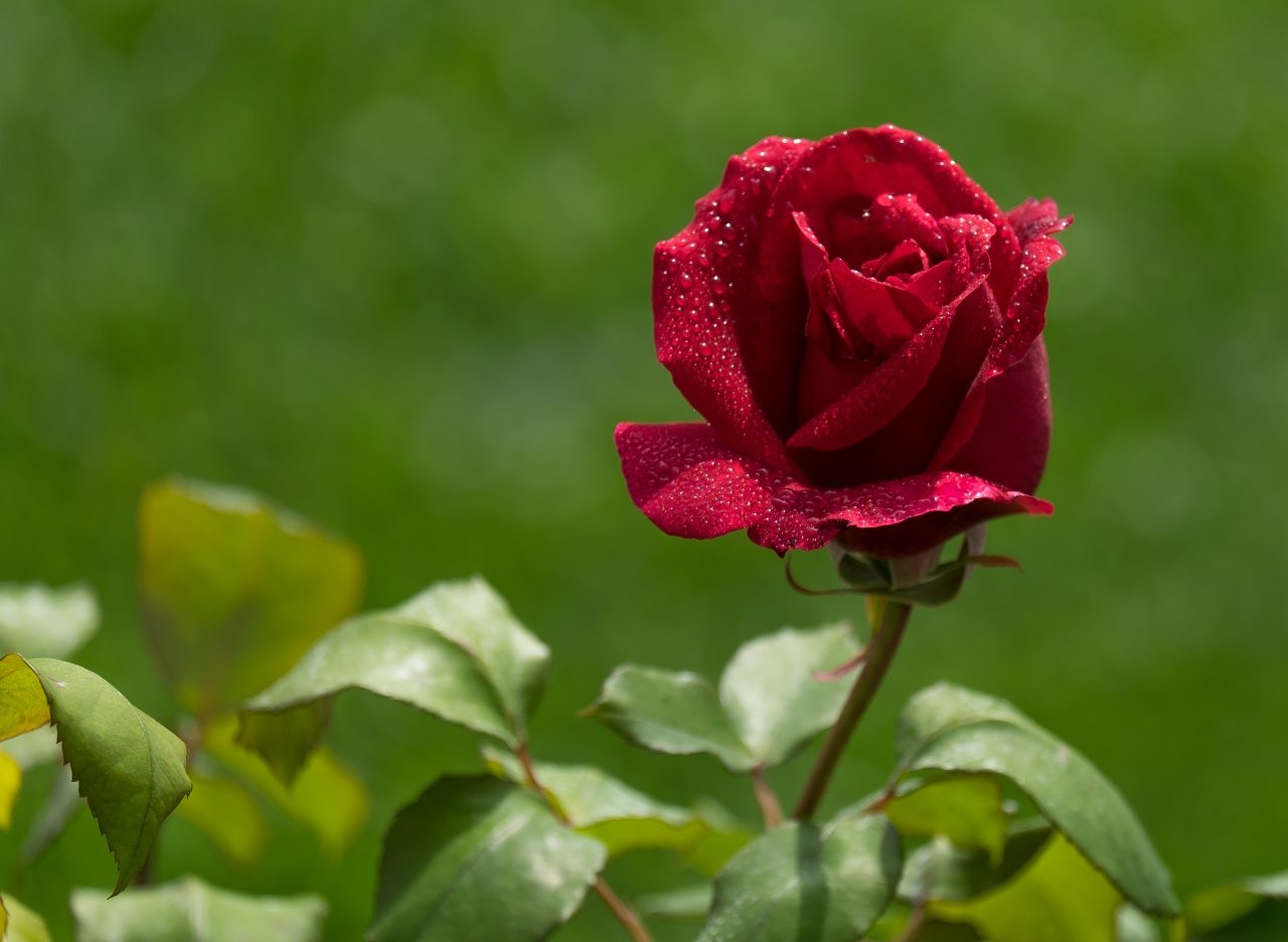 Red Roses: Love, Respect, Courage, Passion, Well Done,Congratulations