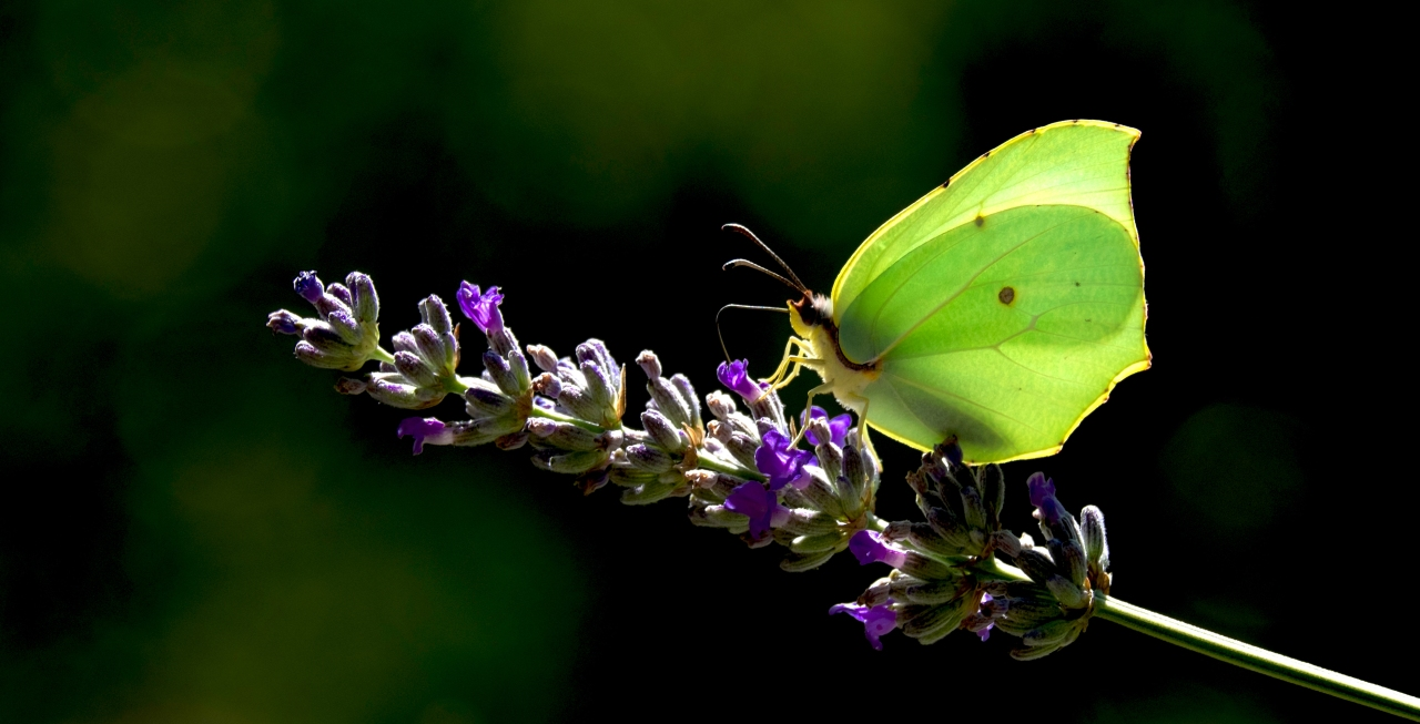 Mariposa limonera