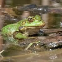 El croar de las ranas